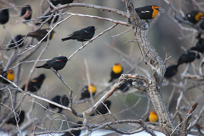 Photograph - Yellowheaded Blackbird - 0004 by S and S Photo