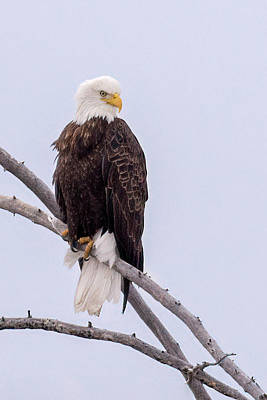 Yellowstone Digital Art - Yellowstone Bald Eagle by Priscilla Burgers