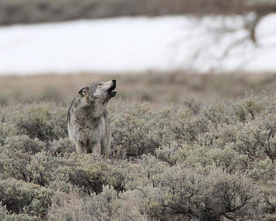 Photograph - Yellowstone Big Gray by Gerry Sibell
