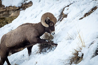 Yellowstone Bighorn Art Print