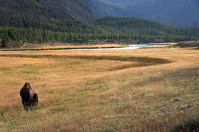 Photograph - Yellowstone Bison Wyoming by Aidan Moran