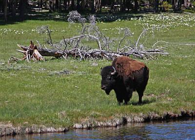 Yellowstone Bison By Nez Perce Creek Art Print