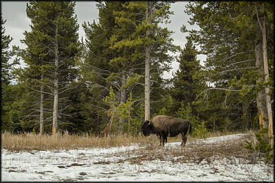 Photograph - Yellowstone Bison by Erika Fawcett