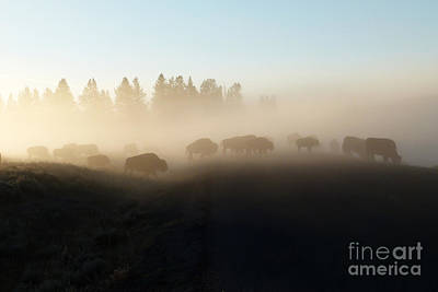 Yellowstone Bison In Early Morning Fog Art Print by Bob and Nancy Kendrick