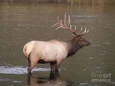 Sandra Williams Photograph - Yellowstone Bull Elk In River by Sandra Williams