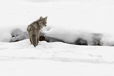 Photograph - Yellowstone Coyote by David Yack