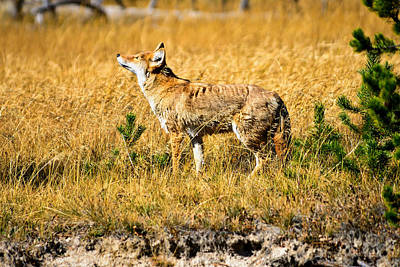 Photograph - Yellowstone Coyote by Greg Norrell