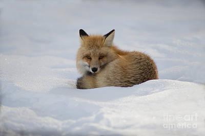 Yellowstone Fox # 2 Art Print