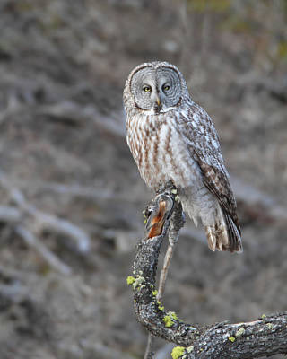 Photograph - Yellowstone Great Gray Owl by Gerry Sibell