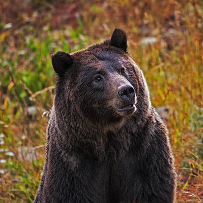 Photograph - Yellowstone Griz by Mark Kiver