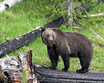 Photograph - Yellowstone Grizzlies 2 by George Jones
