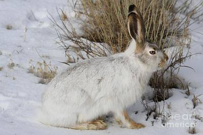Photograph - Yellowstone Jack Rabbit by Adam Jewell
