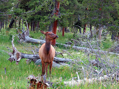 Photograph - Yellowstone Moments. Doe by Ausra Huntington nee Paulauskaite