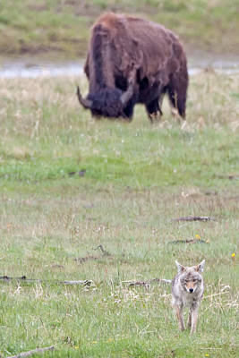 Coyote Photograph - Yellowstone Prairie by Natural Focal Point Photography