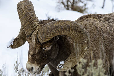 Yellowstone Ram Art Print by David Yack