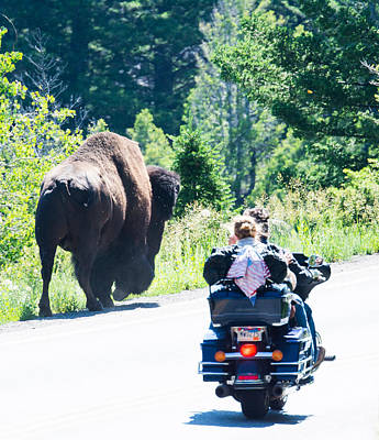 Photograph - Yellowstone Road Hog by Michael Gooch
