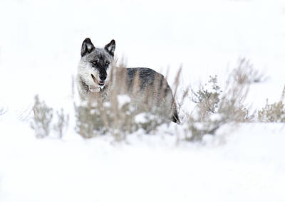 Photograph - Yellowstone Wolf by Deby Dixon
