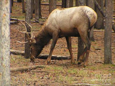 Sandra Williams Photograph - Yellowstone Young Bull Elk by Sandra Williams