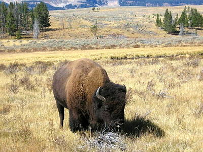 Photograph - Yellowstone's Big Buffalo by Kristina Deane