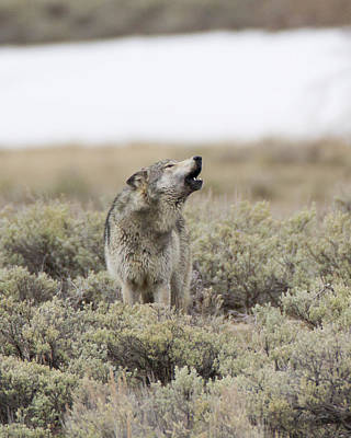 Photograph - Yellowstone's Big Gray Howling In The Sage by Gerry Sibell