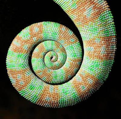 Kings Lynn Photograph - Yemen Or Veiled Chameleon by Nigel Downer