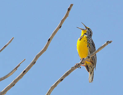 Meadowlark Wall Art - Photograph - Yer Heart Out.. by Al  Swasey