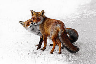 Winter Storm Photograph - Yin Yang _ Red Fox Love by Roeselien Raimond
