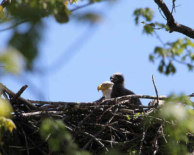 Photograph - Yong Eaglet by Bruce  Morrell