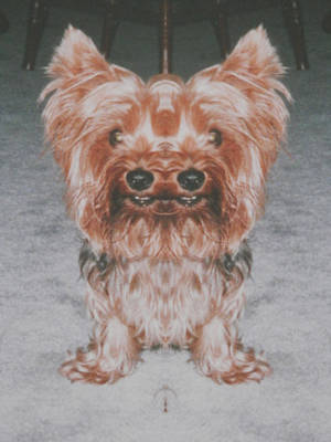 Photograph - Yorkie Am I Seeing Double by Belinda Lee
