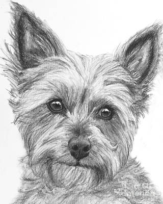 Yorkie Drawing - Yorkie Drawing by Kate Sumners