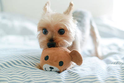 Yorkie Playing With Teddy Toy Art Print by Cheryl Chan