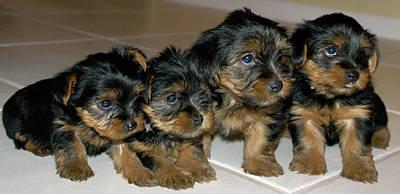 Yorkie Puppies-we're Sorry Art Print by Geraldine Alexander
