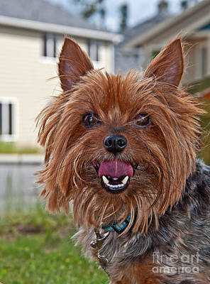Photograph - Yorkshire Terrier Dog Closeup by Valerie Garner