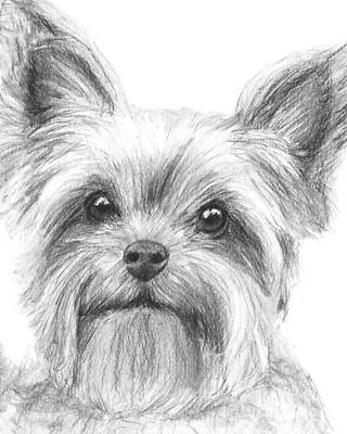 Dog Close-up Drawing - Yorkshire Terrier Drawing by Kate Sumners