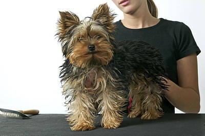 Pet Care Photograph - Yorkshire Terrier Grooming by Jean-Michel Labat