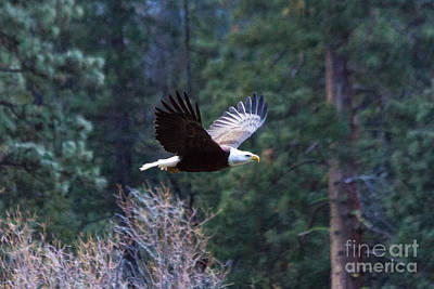 Photograph - Yosemite Bald Eagle by Vincent Bonafede