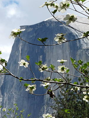 Photograph - Yosemite Dogwood And Half Dome by Jeff Lowe