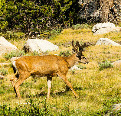 Photograph - Yosemite Mule Deer by LeeAnn McLaneGoetz McLaneGoetzStudioLLCcom