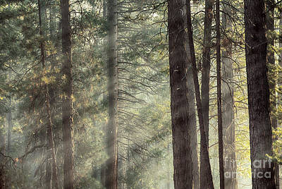 Yosemite Pines In Sunlight Art Print by Jane Rix