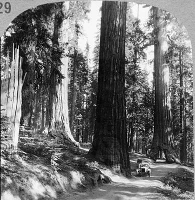 Sequoia Painting - Yosemite Sequoia Grove by Granger