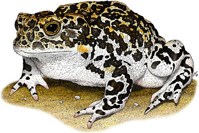 Photograph - Yosemite Toad by Roger Hall