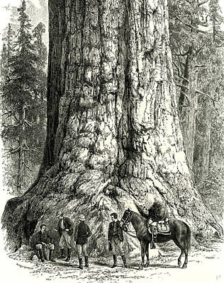 Yosemite Drawing - Yosemite Valley The Grizzly Giant Usa 1891 by English School