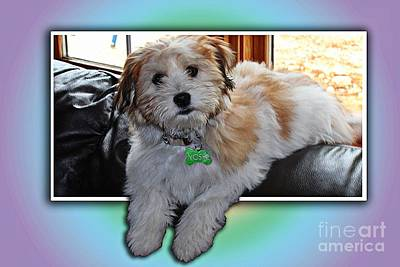 Yoshi Havanese Puppy Art Print by Barbara Griffin