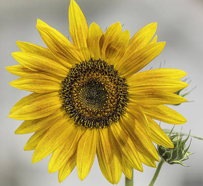 Sunflowers Royalty-Free and Rights-Managed Images - You Are My Sunshine by Thomas Young