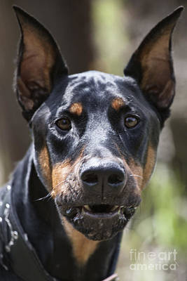 Doberman Pinscher Wall Art - Photograph - You Have About 15 Seconds by Douglas Barnard