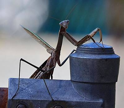 You Looking At Me - Pray Mantis Art Print by Kathy Eickenberg