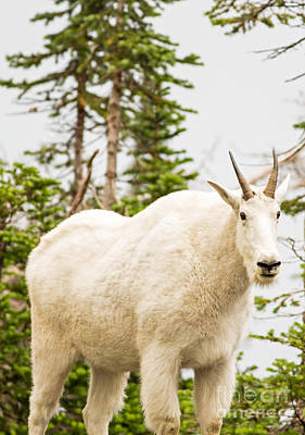 Mountain Goat Photograph - You Shall Not Pass by Natural Focal Point Photography