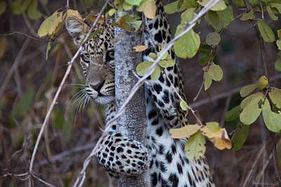 Photograph - Young Leopard In Tree by Bob Park