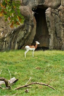 Addra Gazelle Photograph - Young Addra Gazelle by Jean Goodwin Brooks