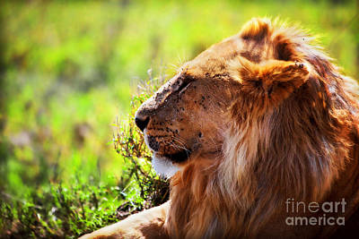 Photograph - Young Adult Male Lion On Savanna. Safari In Serengeti by Michal Bednarek